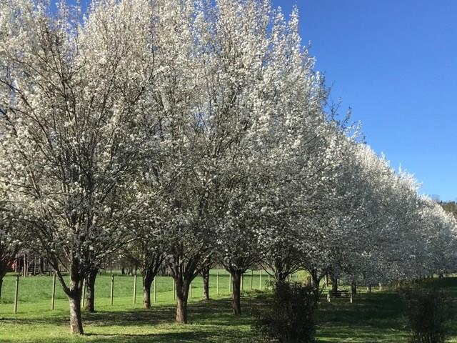 Row of Pear Trees in Bloom