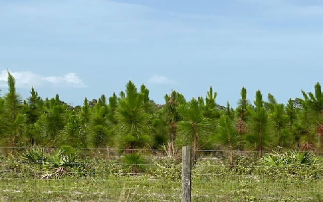 Great Stand of Well Managed 5 Year Old Long Leaf Pine on Nice Place just outside of Sanderson, Florida. Pine Stand Prescribe Burned Recently. Property has a Couple of Nice Fish Ponds. Huge Pine Trees on a Portion of Property. High and Dry, Beautiful Land.