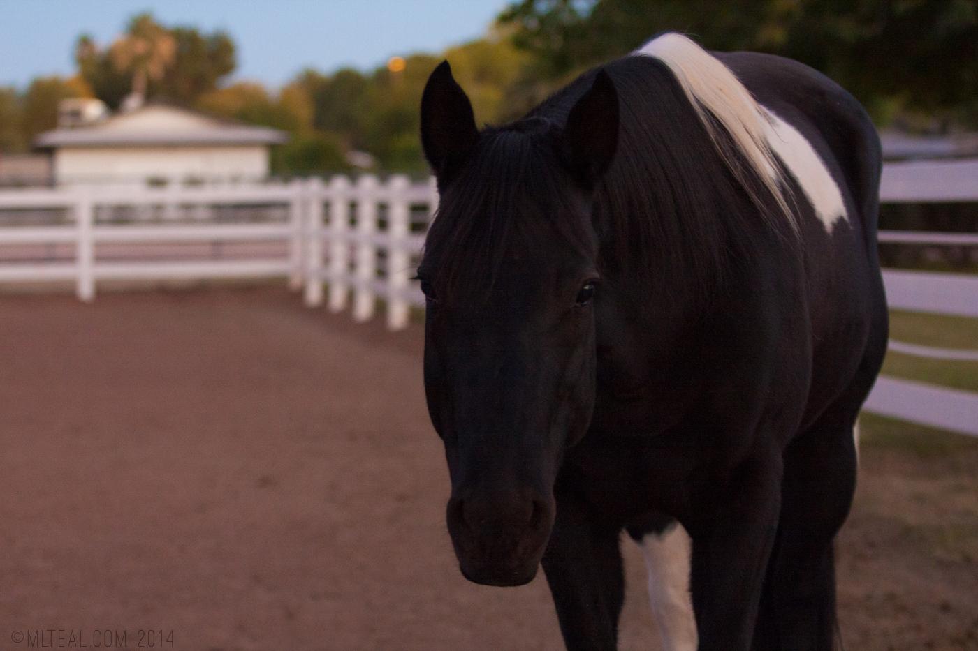 My friend Carin's horse, Sonoma