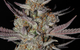 Marionberry Kush (Indica) - TGA Subcool