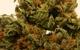 Green Tiger's - Blackberry Kush (GTG)