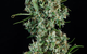 Sonic Screwdriver (Sativa) TGA Seeds