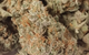All Star - CCC MarionBerry Kush (AS-2)