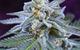 Killer Grape (Hybrid) - TGA Subcool