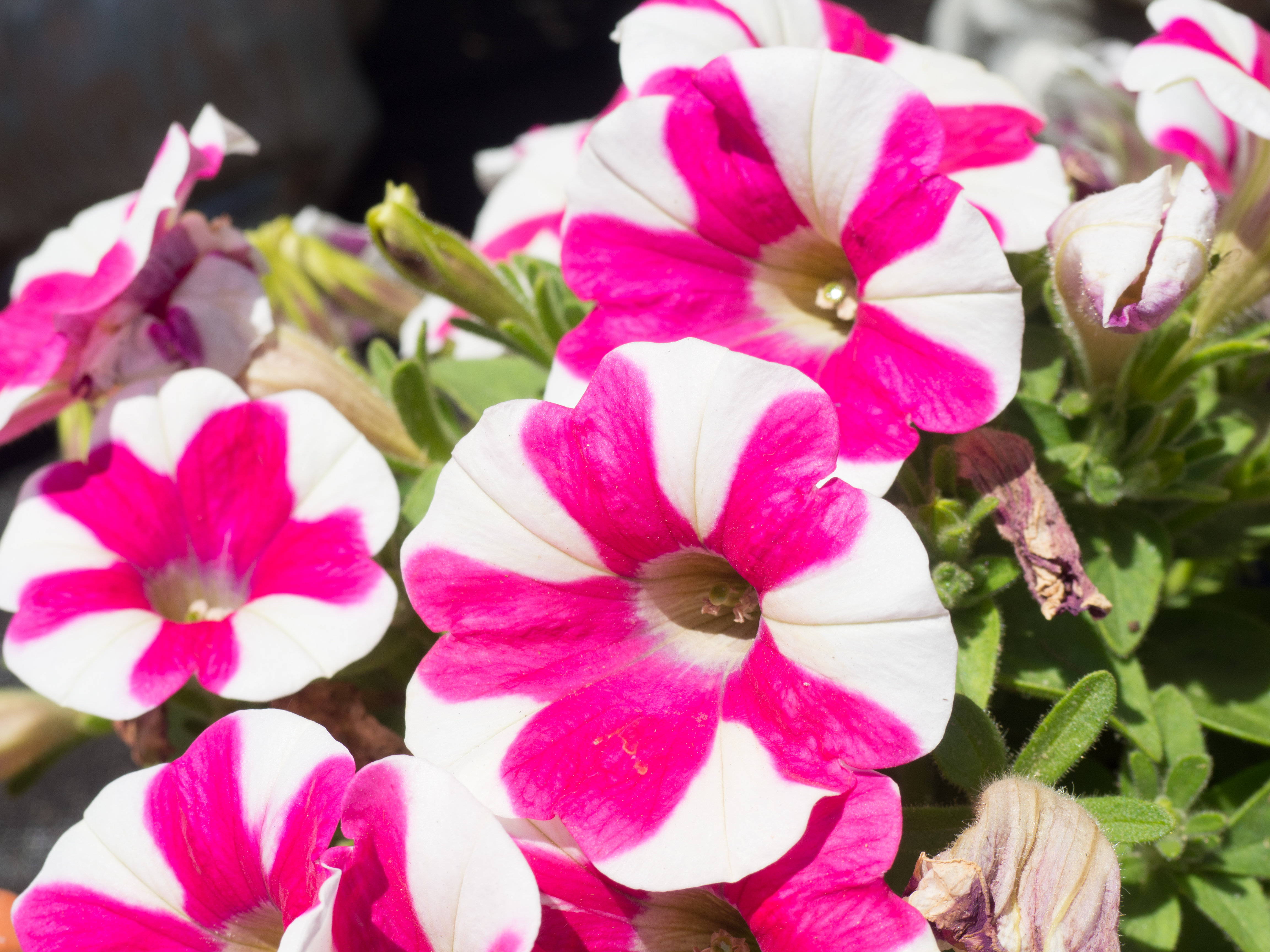 Pink And White Flowers Mmt