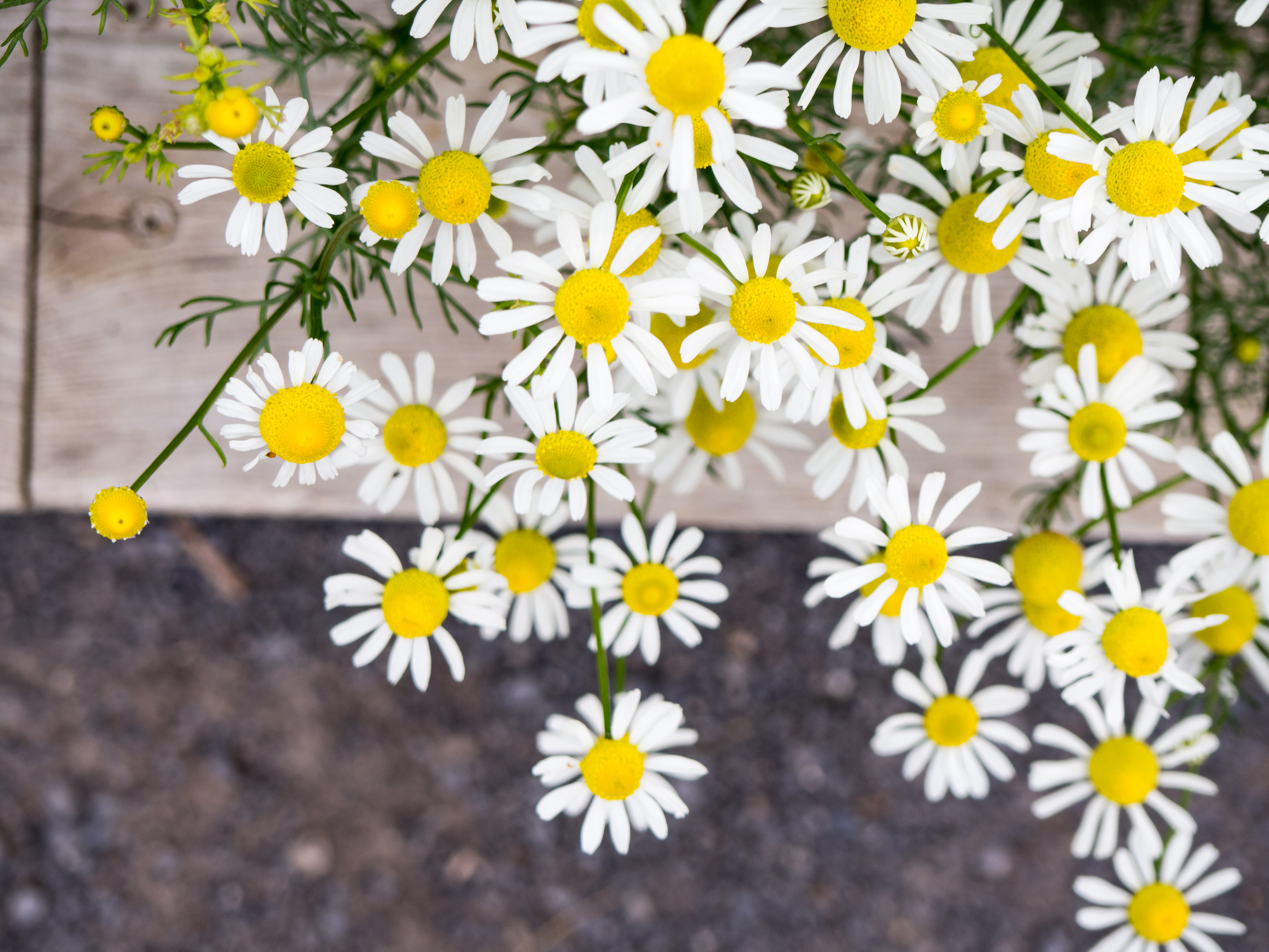 Yellow and white flowers over sidewalk mmt yellow and white flowers over sidewalk download mightylinksfo