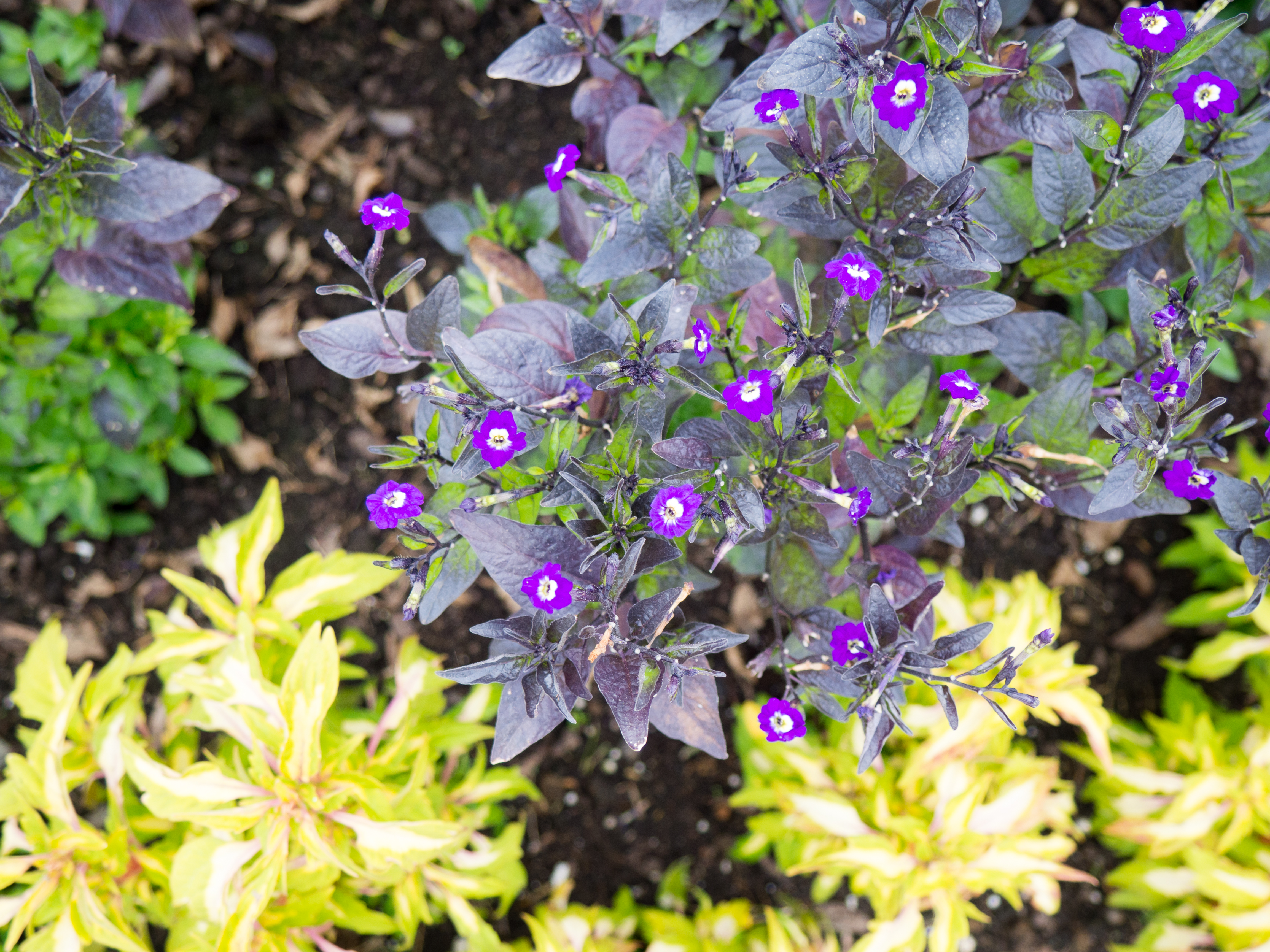 Small Purple Flowers In Garden Mmt