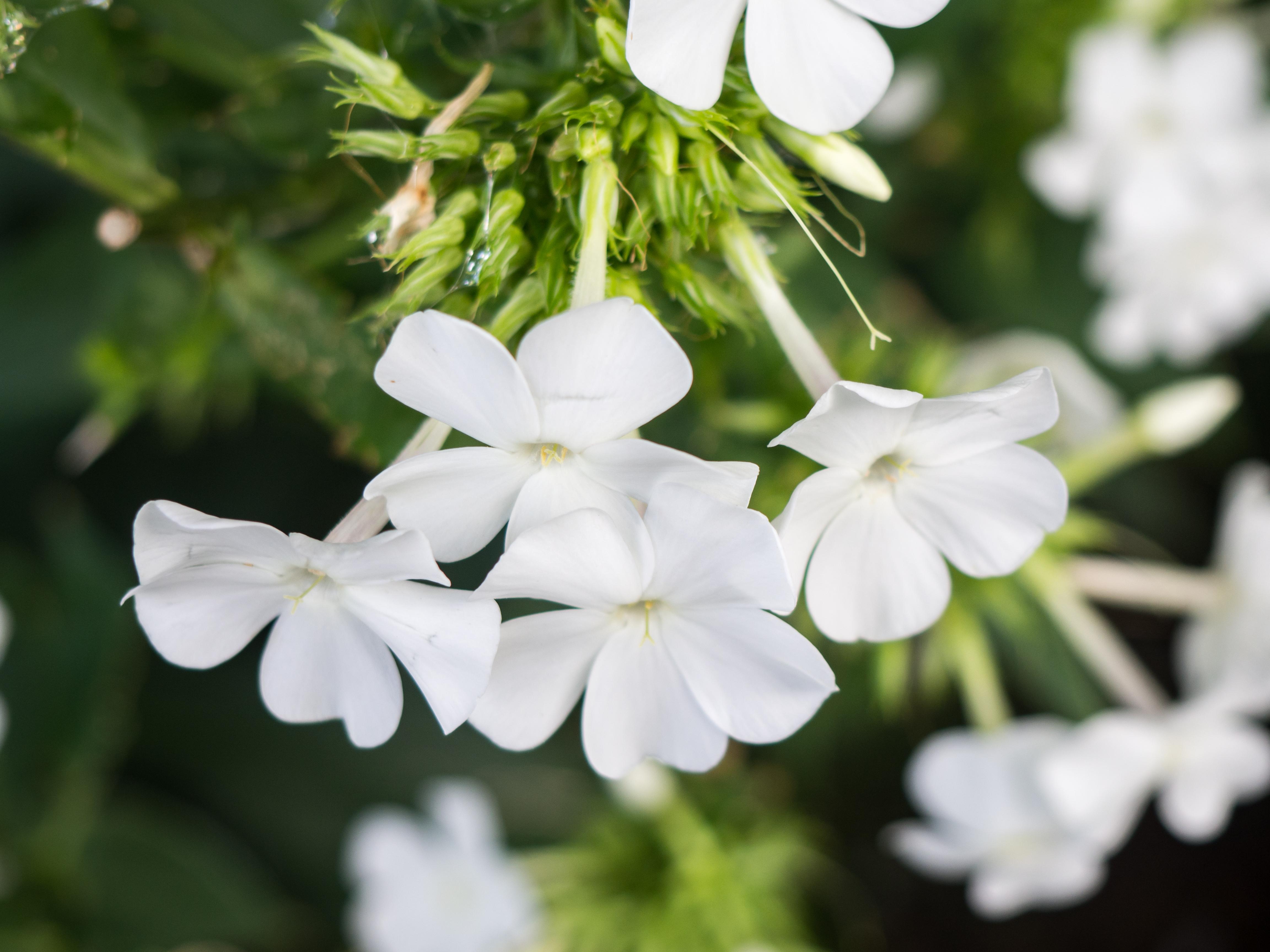 White Flowers Mmt