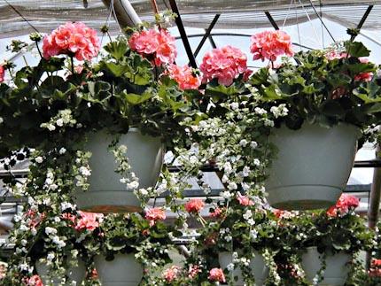 Hanging geraniums1