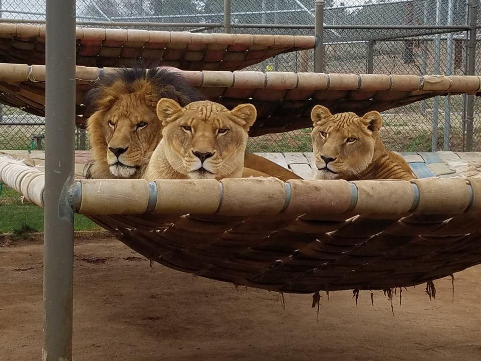 Ltb 19 lions