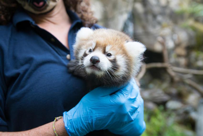 H red panda cub