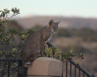 Bobcat at voskuehlers westlake   photo sabine voskueler 2