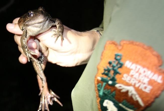 Red legged frog copy