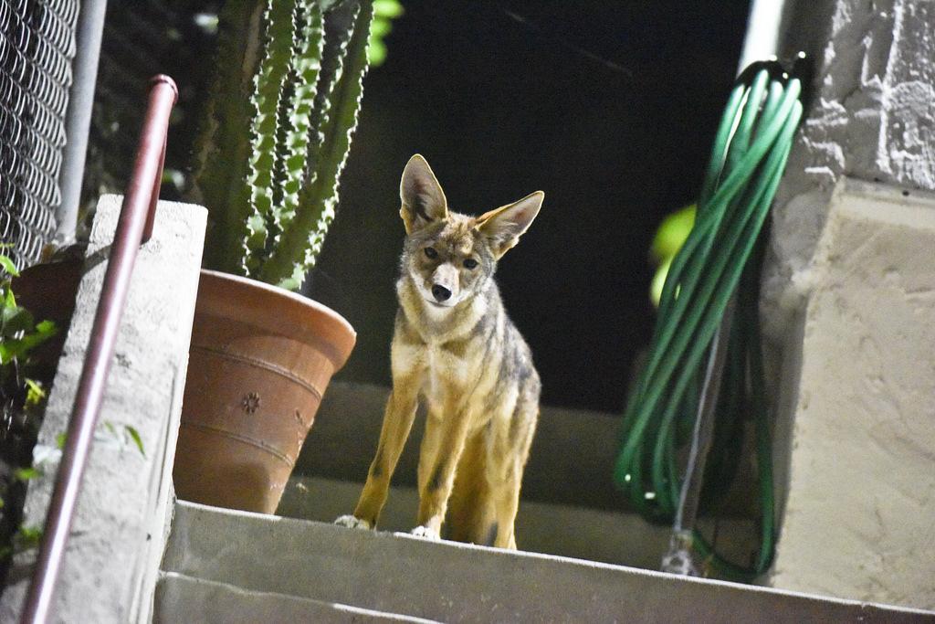 Coyote urban c144's pup