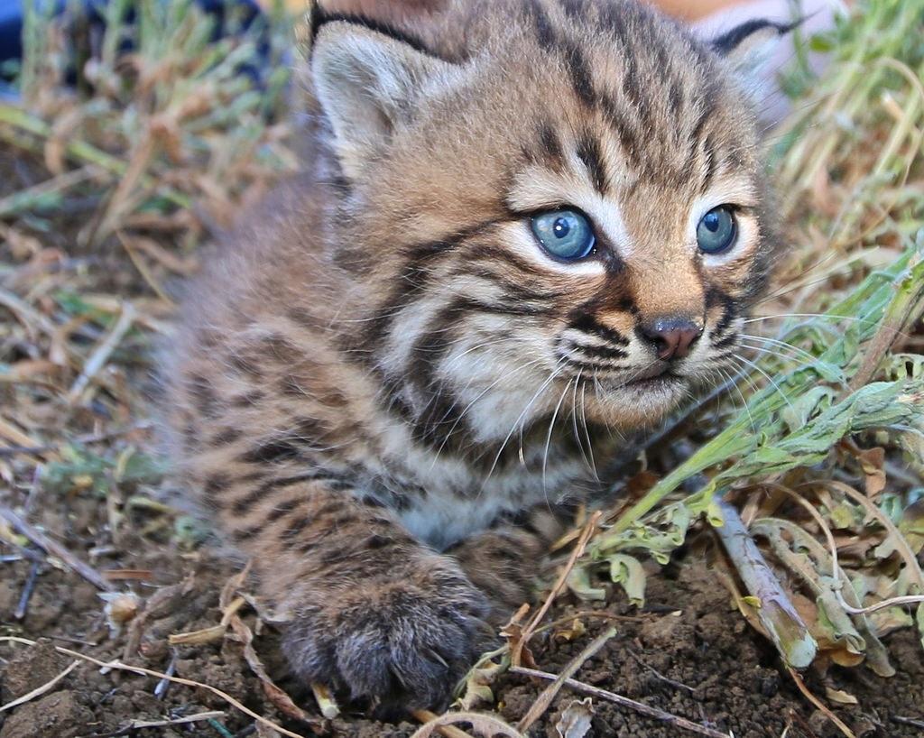 Bobcat for lush