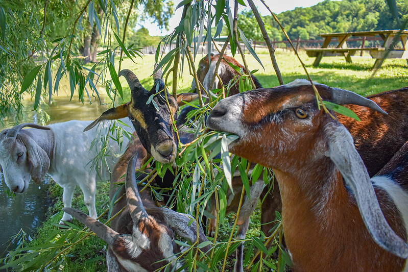 Main carousel   goats eating williw leaves