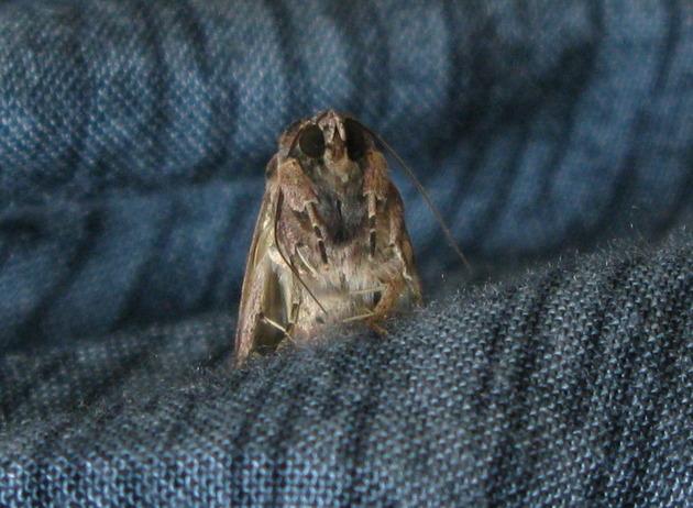 7.11 abuelo moth