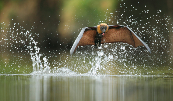 Australian Flying Fox Hands The grey-headed flying fox is