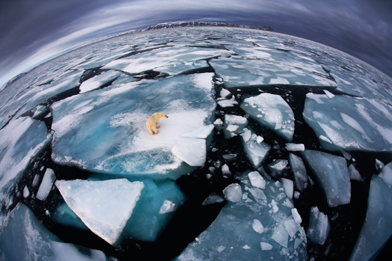 Anna was on a boat in Svalbard – an archipelago midway between mainland Norway and the North Pole – when she saw this polar bear at around four in the morning. It was October, and the bear was walking on broken-up ice floes, seemingly tentatively, not quite sure where to trust its weight. She used her fisheye lens to make the enormous animal appear diminutive and create an impression of 'the top predator on top of the planet, with its ice world breaking up'. The symbolism, of course, is that polar bears rely almost entirely on the marine sea ice environment for their survival, and year by year, increasing temperatures are reducing the amount of ice cover and the amount of time available for the bears to hunt marine mammals. Scientists maintain that the melting of the ice will soon become a major problem for humans as well as polar bears, not just because of rising sea levels but also because increasing sea temperatures are affecting the weather, sea currents and fish stocks. Photo by: Anna Henly (UK) /2012: Veolia Environnement Winner The World in Our Hands Award.