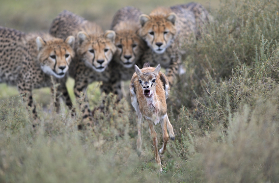 When a female cheetah caught but didn't kill a Thomson's gazelle calf and waited for her cubs to join her, Grégoire guessed what was about to happen. He'd spent nearly a decade studying and photographing cheetahs in the Serengeti National Park, Tanzania, and he knew that the female's behaviour meant one thing: a hunting lesson was due to begin. The female moved away, leaving the calf lying on the ground near her cubs. At first, the cubs took no notice of it. But when it struggled jerkily to its feet 'the cubs' natural predatory instincts were triggered,' says Grégoire. 'Each cub's gaze locked on to the calf as it made a break for freedom.' The lesson repeated itself several times, with the cubs ignoring the calf when it was on the ground and catching it whenever it tried to escape – 'an exercise that affords the cubs the chance to practice chases in preparation for the time they'll have to do so for real.' Photo by: Grégoire Bouguereau (France) / 2012: Veolia Environnement Winner Behaviour: Mammals.