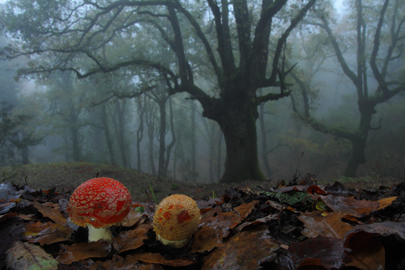 It was a cold, foggy, drizzly day – perfect conditions for searching for and photographing the many types of fungi pushing up through the fallen leaves on the forest floor of Los Alcornocales Natural Park in Andalucía, southern Spain. 'It had been a very wet year, and the atmosphere in the woodland was wonderful,' says Andrés. 'I love photographing fly agaric fungi, but I'd never tried using a wide-angle lens to capture the perspective in this way before.' To do so required spending some time lying in the leaflitter in the rain, not just to get on eye-level with the fruiting bodies but also to show the overarching, ancient, pollarded Andalucían oak in the background. The fungal fruiting bodies are produced by a vast web of mycelium threads – the main body of the fungus – spread through the soil and leaf-litter and living in association with trees, in this case, birch. Photo by: Andrés Miguel (Spain) /2012: Veolia Environnement Botanical Realms Commended.