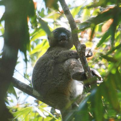 Greater bamboo lemurs (Prolemur simus).
