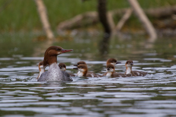 Family of merganser ducks in the Tongass. Photo courtesy of the Sitka Conservation Society.