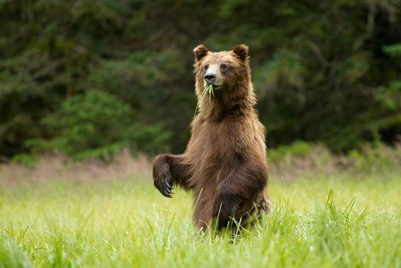 Brown bear in the Tongass. Photo courtesy of the Sitka Conservation Society.