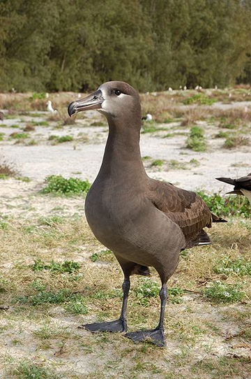 Black footed-albatross (Phoebastria nigripes) is listed as Vulnerable. Photo by: James Lloyd.