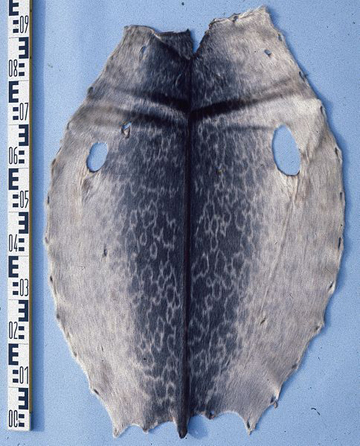 Ringed seal hides have been used by indigenous people for millennia as clothing. Photo by: Mickey Bohnacker.