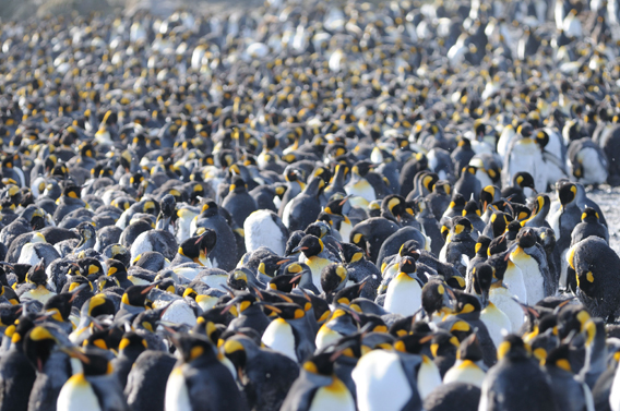 King penguin crowd. Photo by: Carl Safina