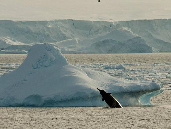 Arnoux's beaked whale (Berardius arnuxii). Photo by: Soler97.