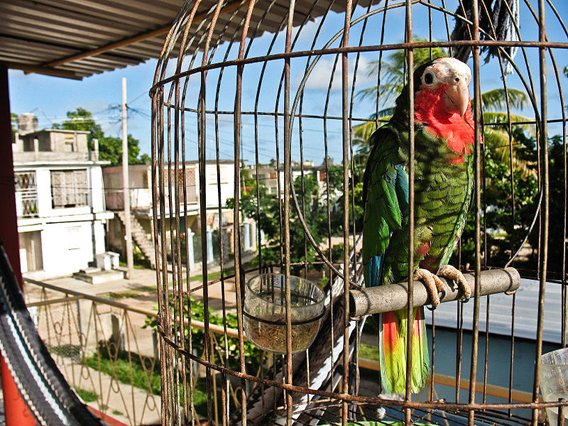 A pet Cuban Amazon in Cuba. The pet trade is one of the largest threats to the species. Photo by: Alex Graves.