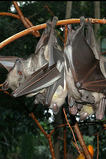 The straw-colored fruit bat (Eidolon helvum) could be impacted by climate change due to changes in fruit and flower availability. Photo by: Fritz Geller-Grimm.