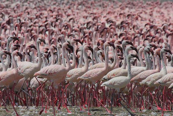 Lesser flamingoes in Kenya. One third of the world's lesser flamingoes nest in Tanzania's Lake Natron. Photo by: Steve Garvie.