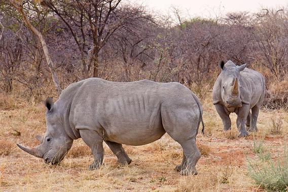 White rhinos in Namibia. White rhinos are the world's most populous, but suffer massive poaching rates. Photo by: Ikiwaner.