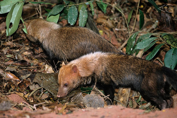 Bush dogs in the wild. Photo by: Adriano Gambarini.