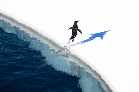 Adelie penguin jumping out of the water. Photo by: J. Weller.