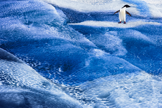 Adelie penguin on blue iceberg. Photo by: J. Weller.
