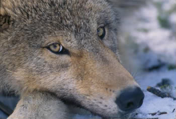 Close-up of juvenile wolf. Photo courtesy of the National Park Service.
