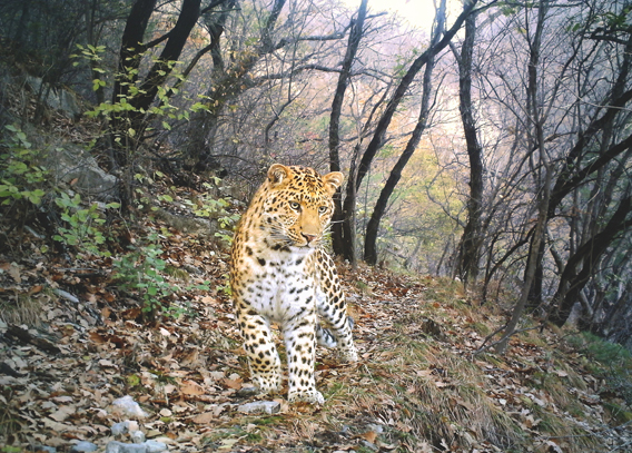 A young male leopard in China's Shuishui River Reserve is this year's contest winner. Photo by: Zhou Zhefeng/BBC Wildlife Magazine.