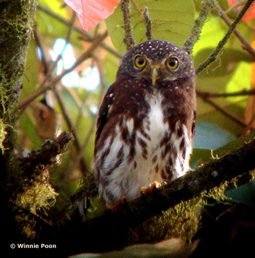 Cloud-forest pygmy-owl (Glaucidium nubicola) at las Gralarias. This species is listed as Vulnerable by the IUCN Red List. Photo by: Winnie Poon.