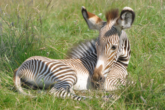 Grevy zebras have the thinnest stripes of the world's zebra species. Photo by: ZSL.