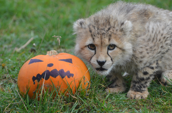 Zookeepers at the Zoological Society of London's Whipsnade Zoo gave pumpkins to six five-month old cheetah cubs and watched them run wild. Photo courtesy of ZSL Whipsnade Zoo.