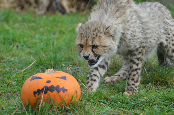 ZSL Whipsande Zoo, Africa section team leader, Mark Holden, said: 'As it was the first time they'd been given pumpkins to play with, we weren't sure how they would react – they could have completely ignored them. But after cautiously circling them, they soon got into the spirit of things and had great fun playing with them and it ended up being a fantastic enrichment activity for them.' Photo courtesy of ZSL Whipsnade Zoo.