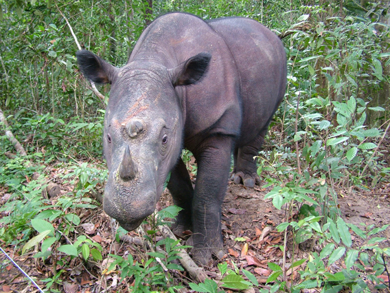 About 250 Sumatran rhinos (Diceros sumatrensis) survive in a few different populations. Photo by: Save the Rhino International.