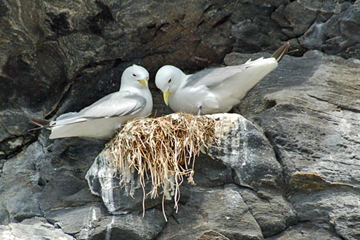 A pair of black-legged kittiwakes nesting on the cliffs of the Norwegian island Runde. Photo by: Islandmen.