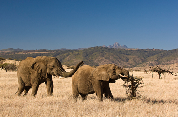Elephants in Lewa. Photo courtesy of the LWC.