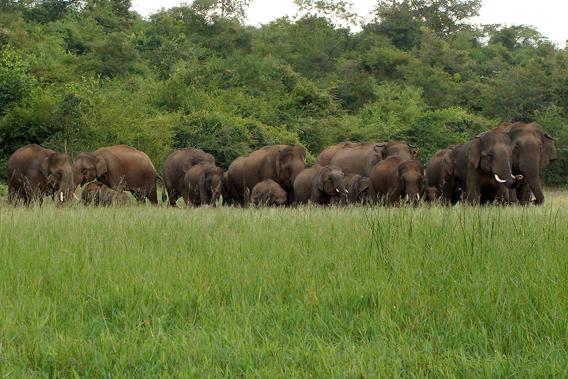 Elephant group feeding. Photo courtesy of Nishant Srinivasaiah.
