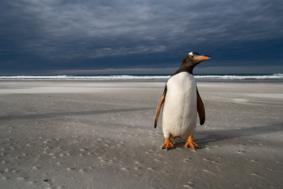 Gentoo penguin on a beach. Photo by: J. Weller.